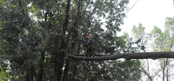 Arborist working on a tree